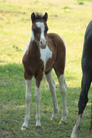 Foal stock 74 by Bundy-Stock