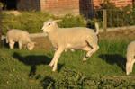 Lamb stock 6