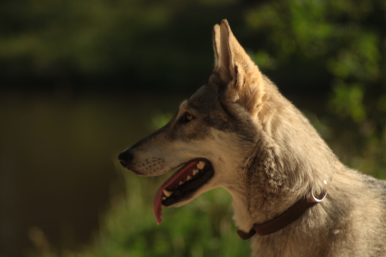 Wolfdog stock 9 by Bundy-Stock