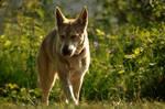 Wolfdog stock 14