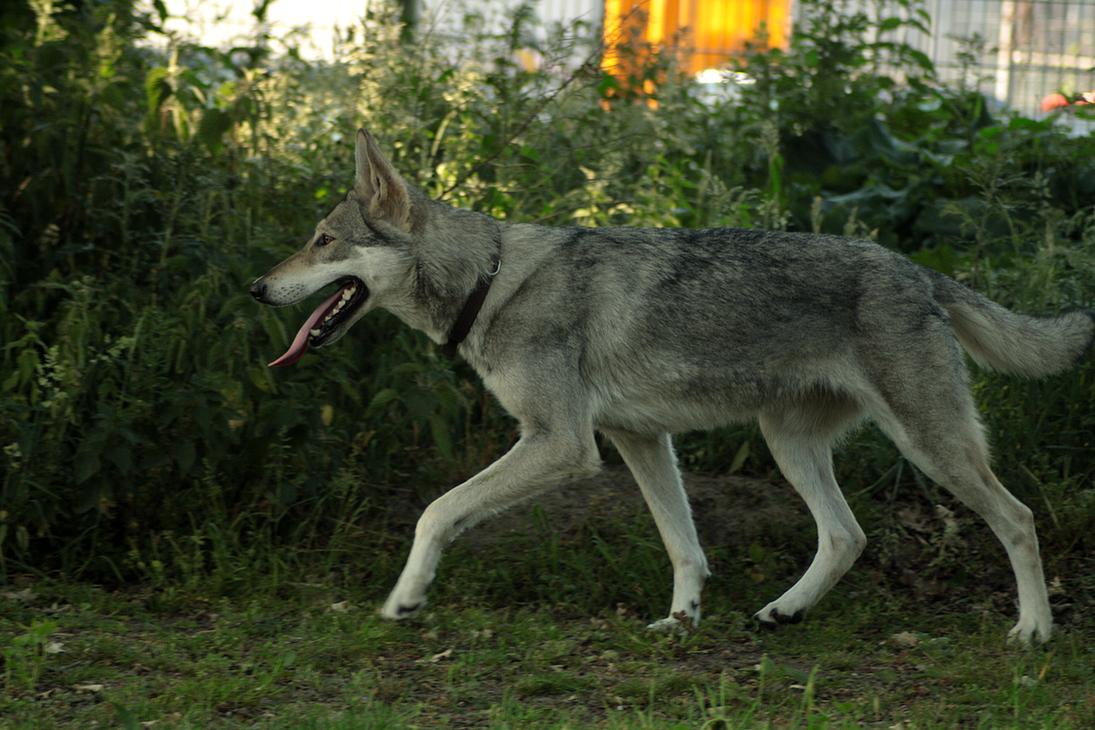 Wolfdog stock 18 by Bundy-Stock