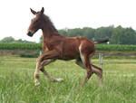Foal stock 126