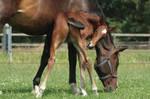 Foal stock 143
