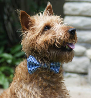 Rudy the Irish Terrier