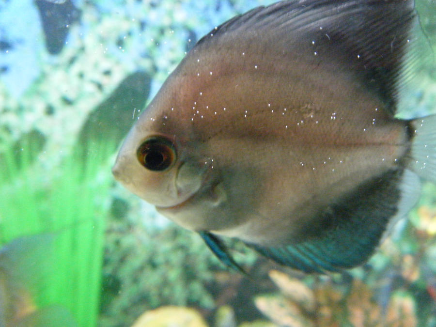 Blue the Discus by Amazinadrielle