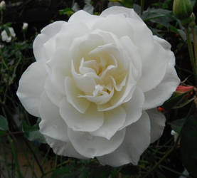 White Rose 052012 by Amazinadrielle