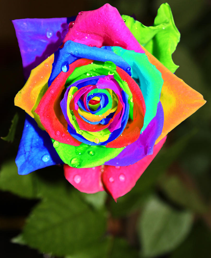 Rainbow Rose By Charlotteearle On Deviantart