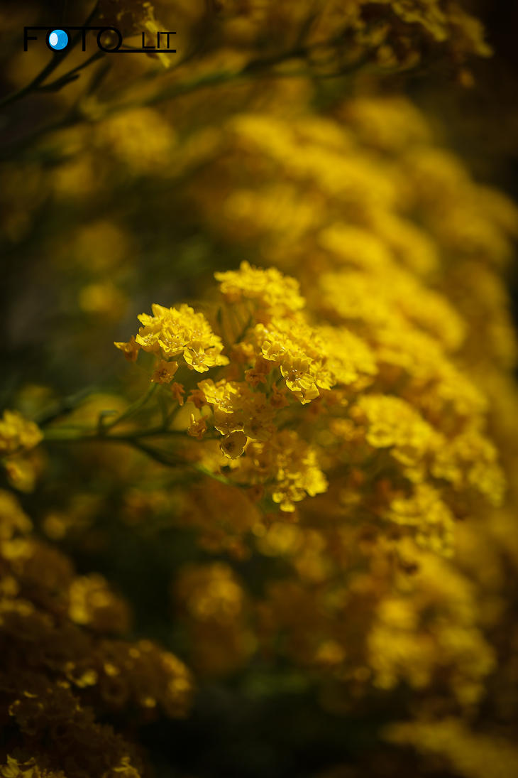 Alyssum by Fotolit