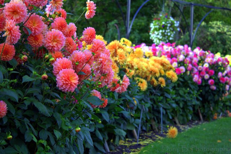 Botanic Garden   Dahlia Border By Dobhrionn ...