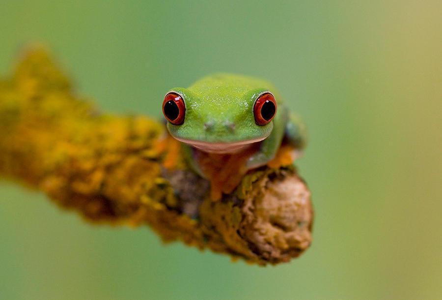 Tree frog tongue
