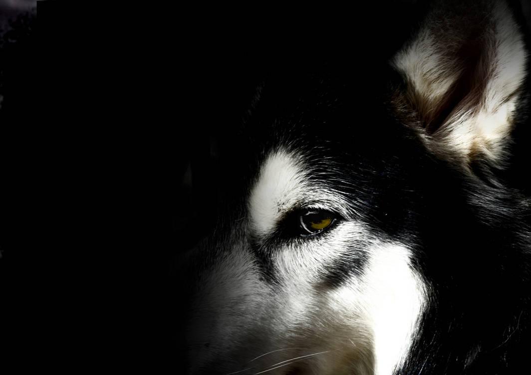 Husky Wallpaper by WinonaPhotographie ...