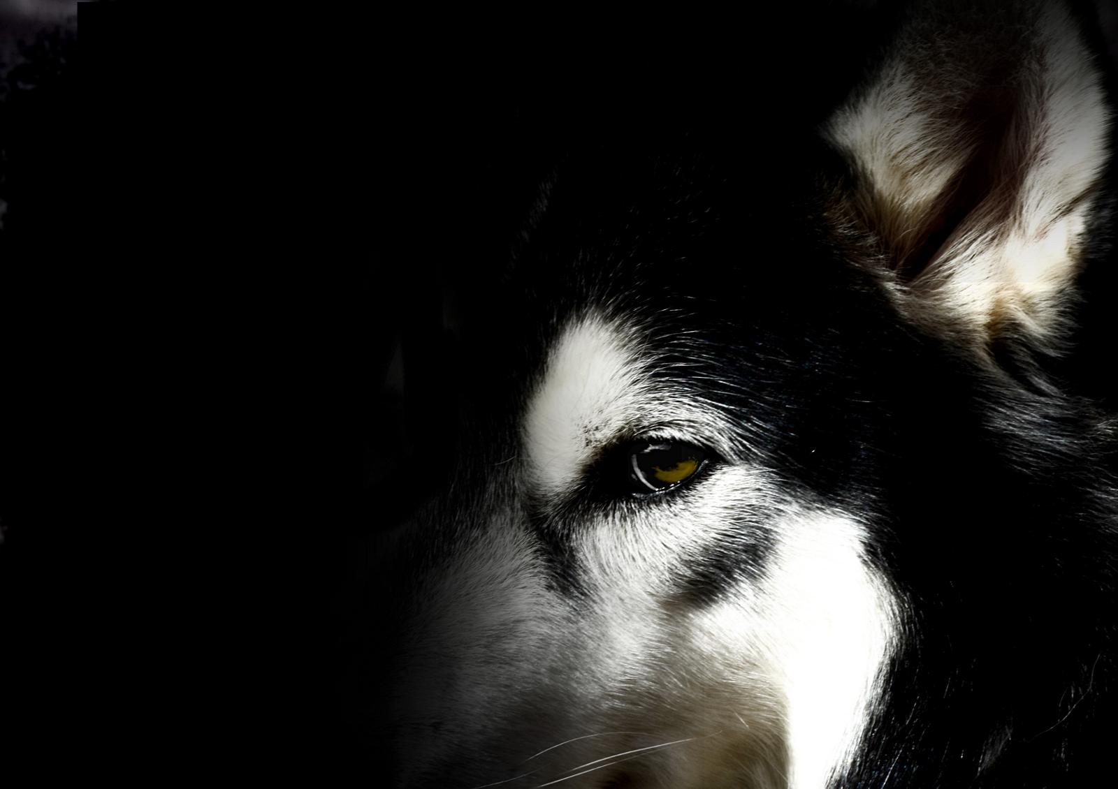 Husky Wallpaper by WinonaPhotographie