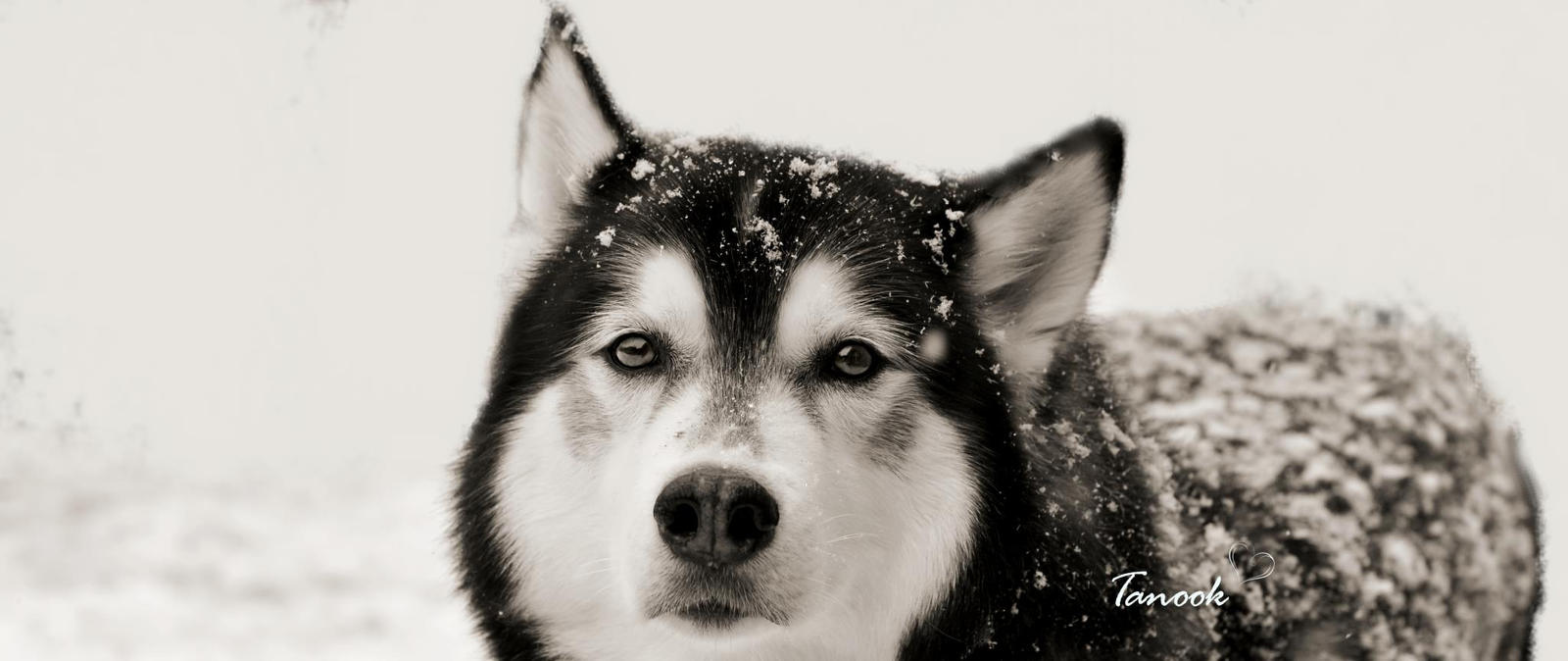 The Snow Dog by WinonaPhotographie