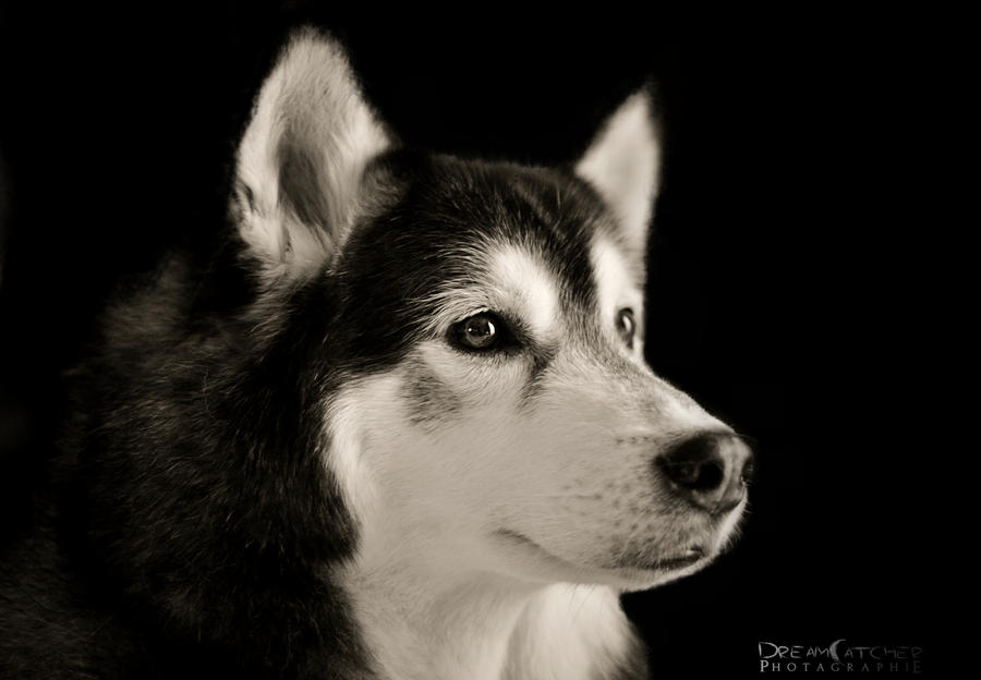 Husky Model by WinonaPhotographie