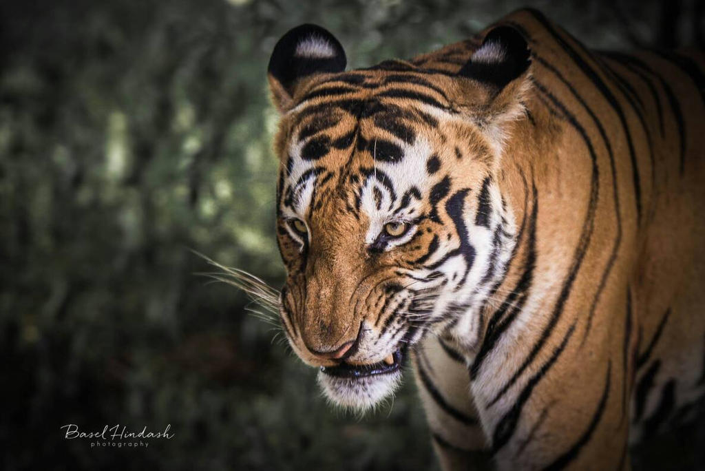 angry tiger by baselaa on DeviantArt