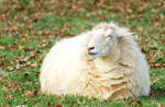 The Happiest Sheep by Tom-Mosack