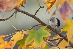 Mesange nonnette - black capped chickadee