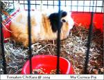 My Guinea-Pig