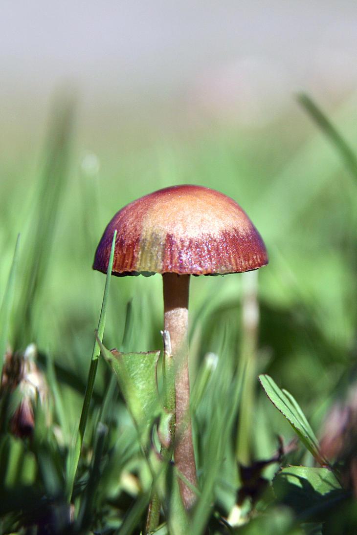 Garden mushroom by Snofte