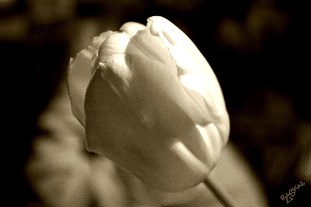 tulipe noir et blanc by raskal27600 on deviantart. Black Bedroom Furniture Sets. Home Design Ideas