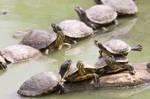 tortues de Floride