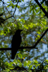 Mumbai Crow 1 by vicken