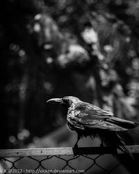 Crow III by vicken