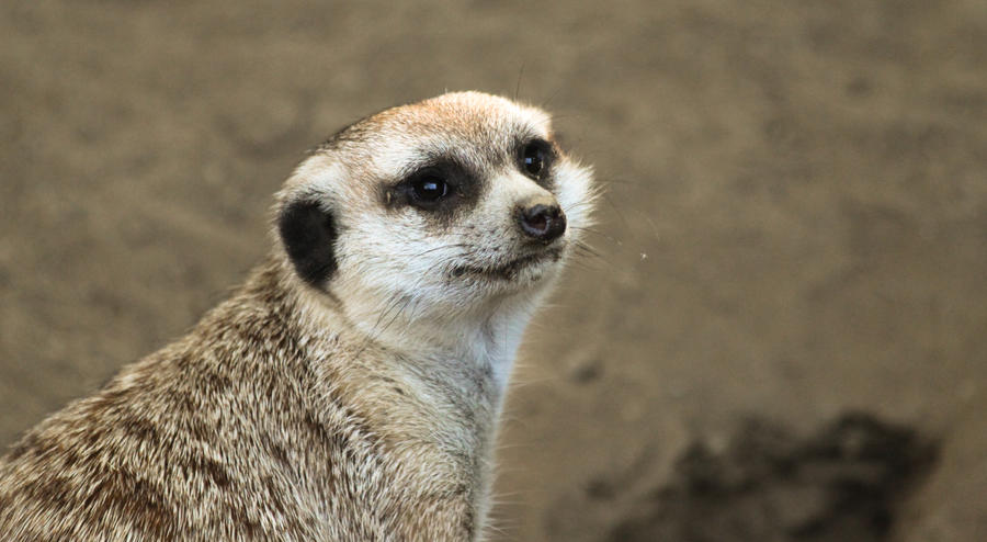 Meerkat by rainylake