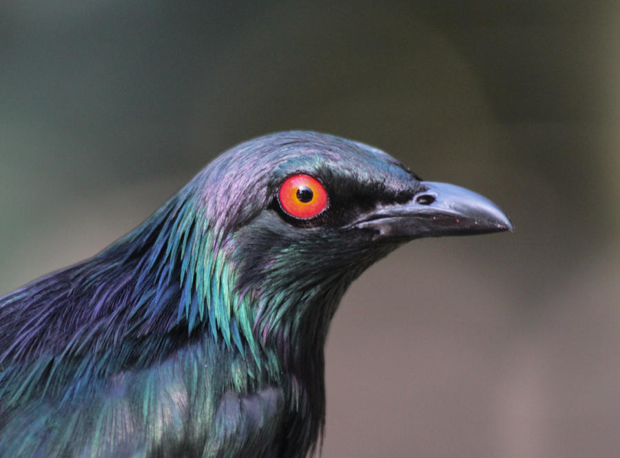 Metallic Starling by rainylake