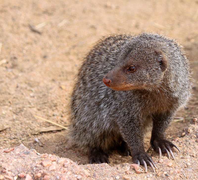 Banded Mongoose by rainylake