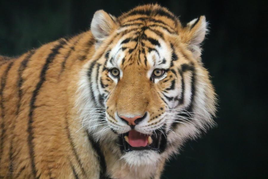 Happy Tiger by rainylake
