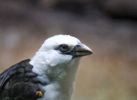 White-headed Buffalo Weaver by rainylake