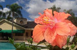 Peach Hibiscus Flower 1
