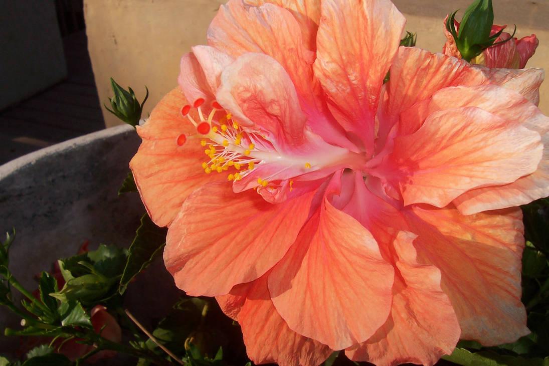 Peach Hibiscus Flower 2 By Igemz On Deviantart