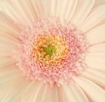 Pastel Pink by nviki89