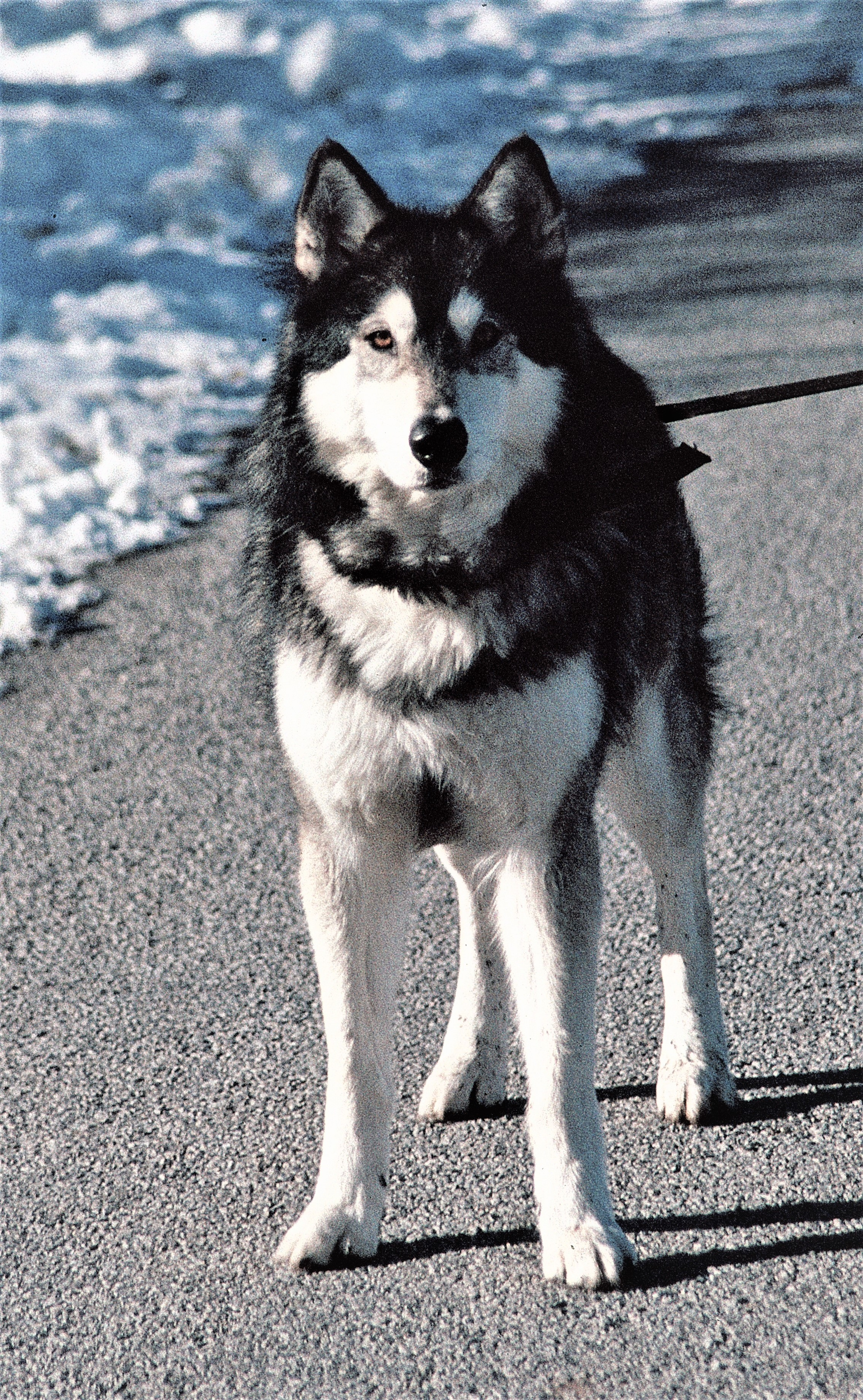 Jed the wolfdog