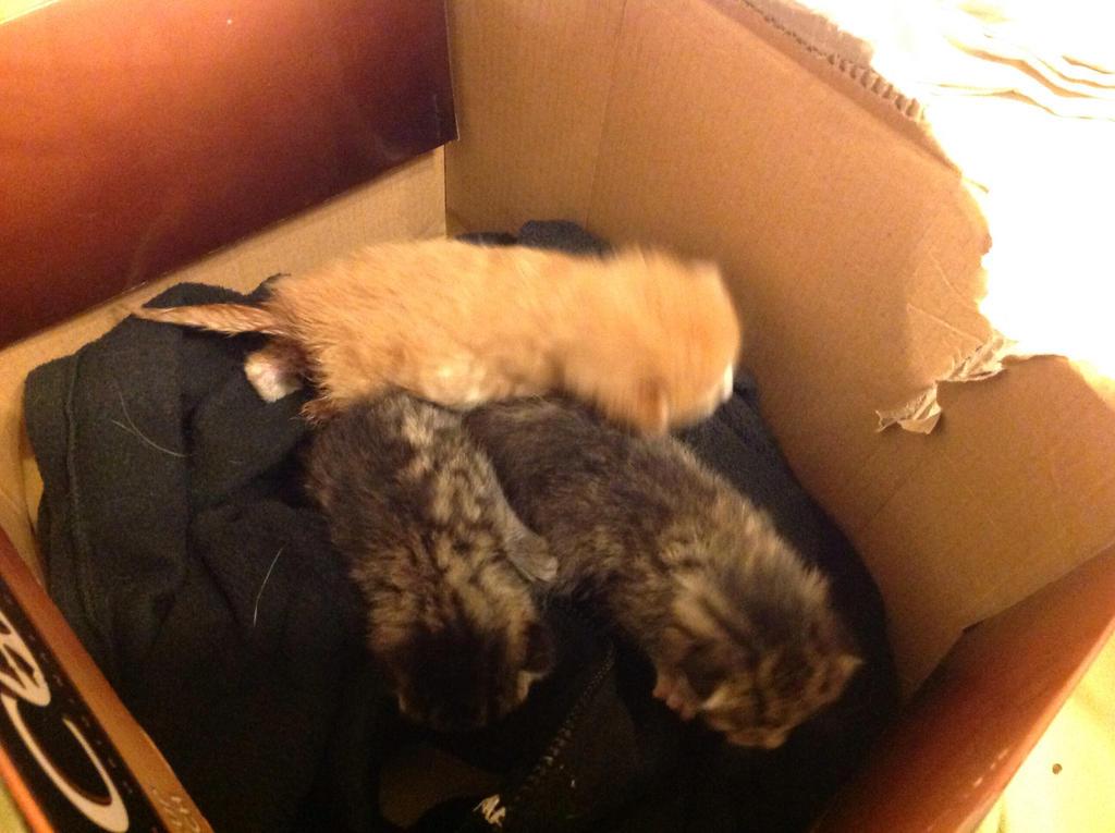 Foster kittens! by BlueRoseKelly