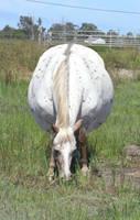 Dalmatian horse by Soobel