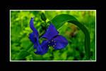 Blue Velvet Green