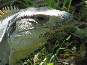 Iguana Portrait by LiviaZita