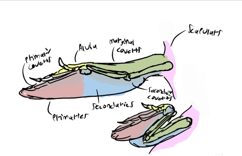 Halszkaraptor wing speculation by snugglesthedinosaur