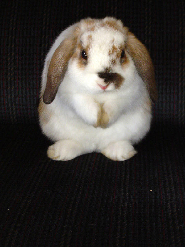 Baby lop eared rabbit - photo#18