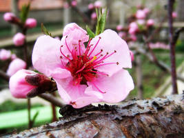 Apricot Blossom by dsreaper