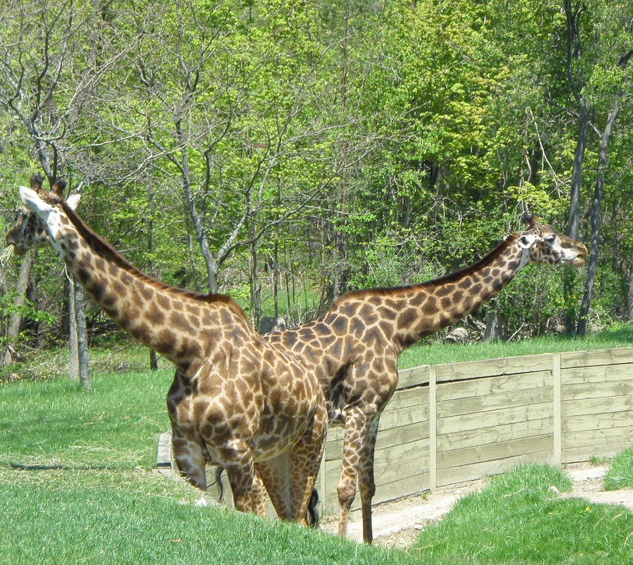 Real two headed giraffe