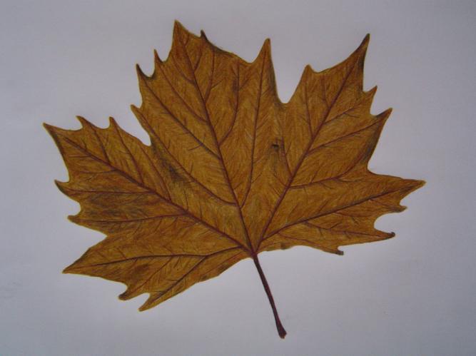 Liquid Amber Leaf By Mr Telecaster On Deviantart