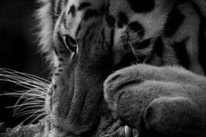 Tiger 2 by annieHPS