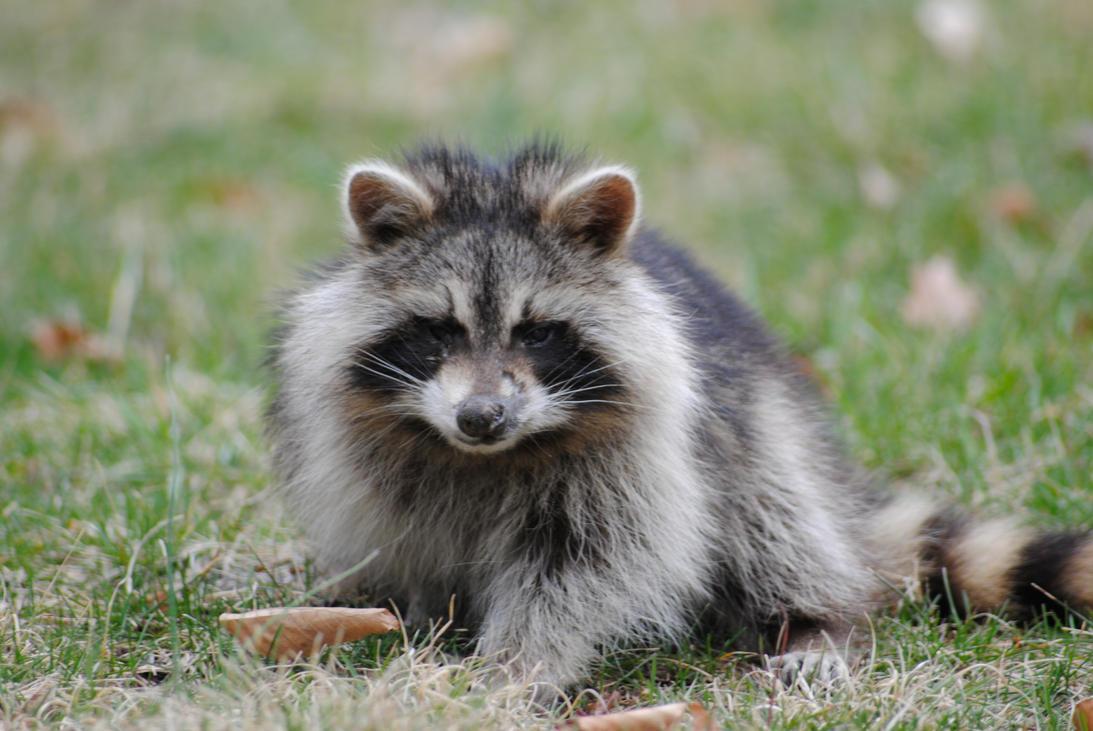 Rabid Raccoon by iambrian90 on DeviantArt Raccoon With Rabies Foaming