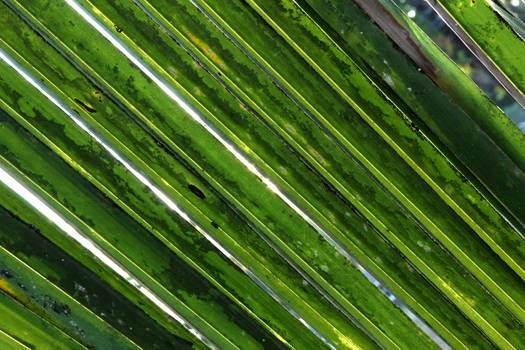 Luzon Palm