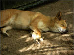 Animal photos: Dingo Dreamtime
