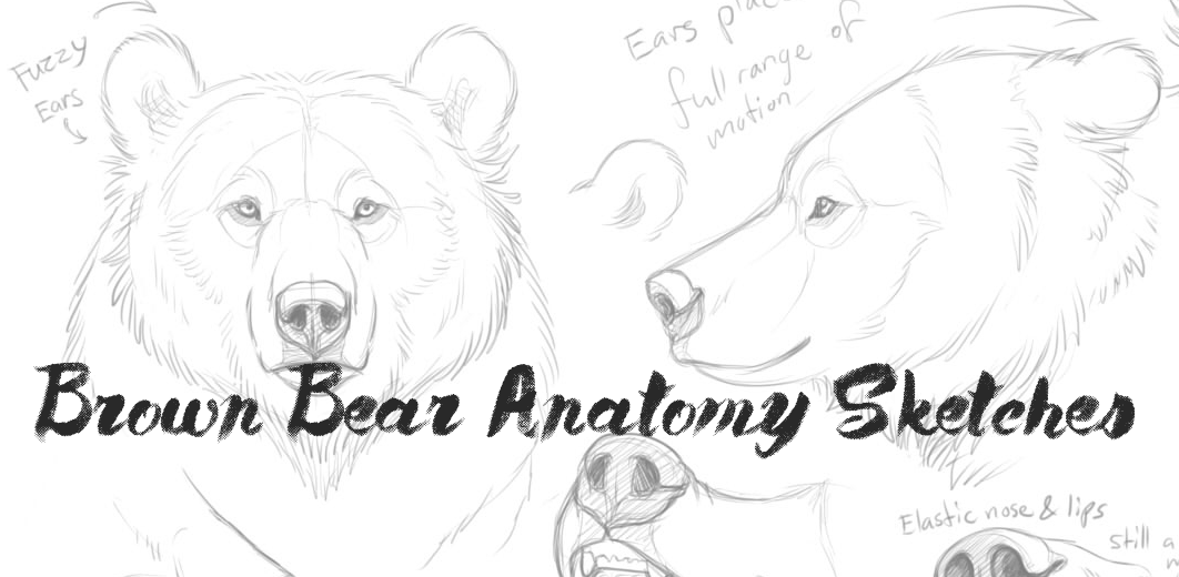 Famous Brown Bear Anatomy Image Collection - Anatomy And Physiology ...